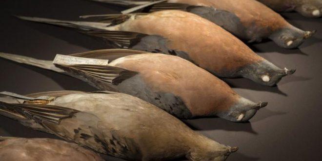 Le pigeon migrateur montre l'effet de la sélection naturelle dans une grande population