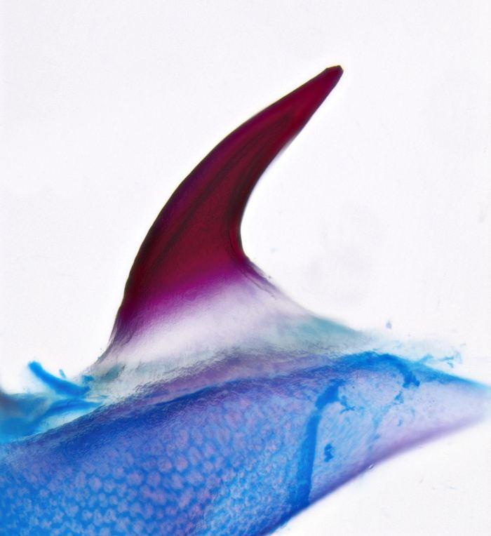 Un seul denticule cutané dans une raie en éclosion. La denticule minéralisée est teinte en rouge et le cartilage sous-jacent est en bleu - Crédit : Andrew Gillis, Gillis Lab