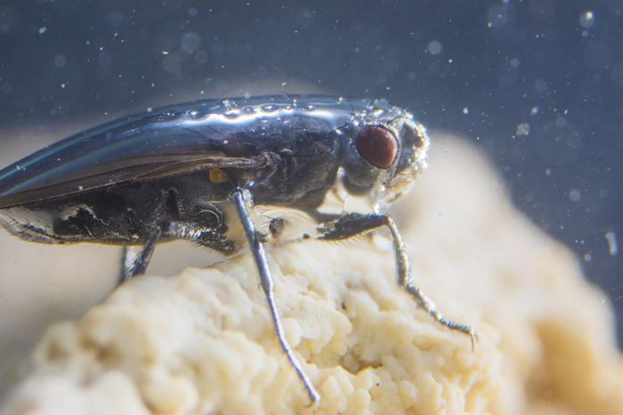 La mouche du Mono Lake crée une bulle protectrice autour de son corps pour résister à l'eau du Mono Lake - Crédit : Floris van Breugel / Caltech