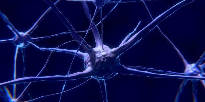 Des petites différences marquent l'évolution du cerveau humain