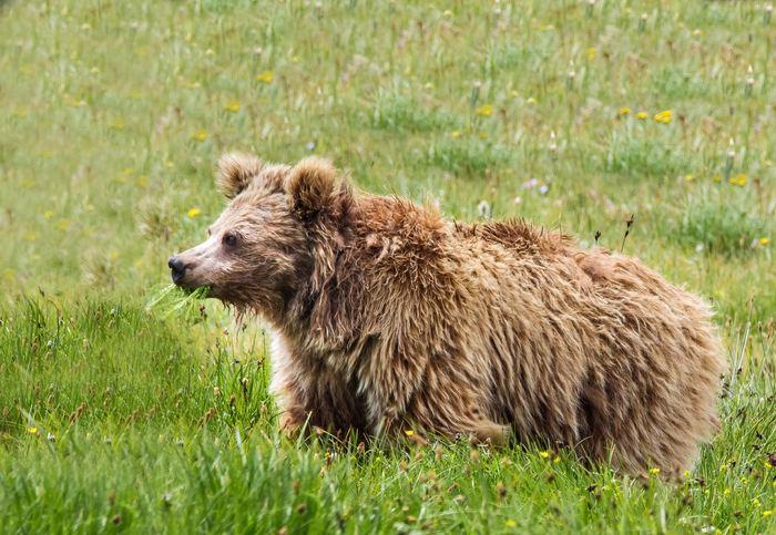 Un ours brun de l'Himalaya  - Crédit : Abdullah Khan, Snow Leopard Foundation.