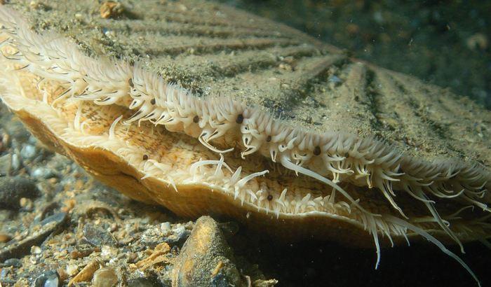 Le pétoncle de l'espèce Pecten Maximus avec ses yeux. Connu également comme la coquille Saint-Jacques - Crédit : Ceri Jones, Haven Diving Services