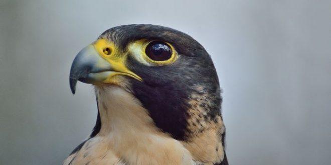 S'inspirer des faucons pèlerins pour combattre les drones illégaux