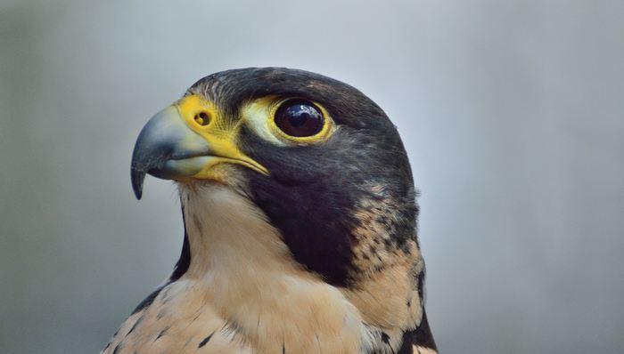 Des chercheurs de l'Université d'Oxford ont découvert que les faucons pèlerins mènent leurs attaques en utilisant les mêmes stratégies de contrôle que les missiles guidés et que cela pourrait aider à combattre les drones illégaux.
