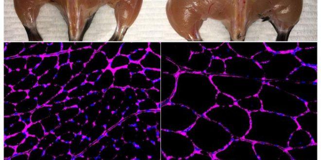 Une modification de CRISPR-Cas9 pour traiter épigénétiquement le diabète, l'insuffisance rénale et la dystrophie musculaire