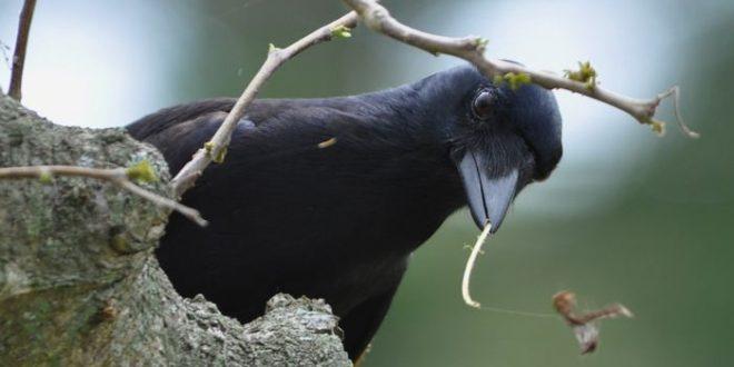 Comment les corbeaux fabriquent-ils leurs crochets ?