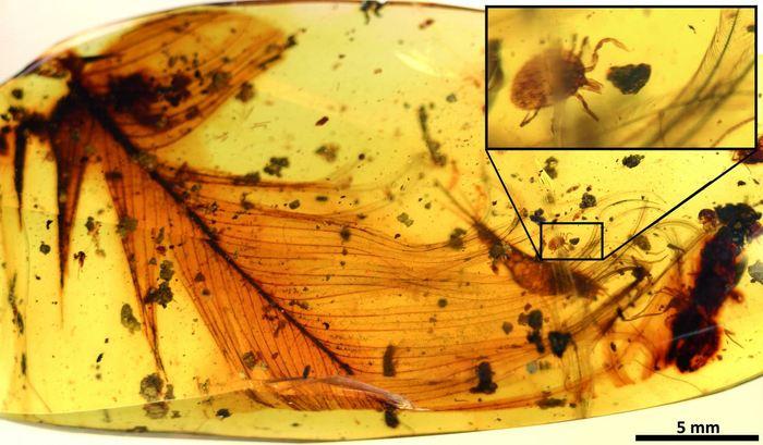 Une tique qui agrippe la plume d'un dinosaure dans de l'ambre datant de 99 millions d'années