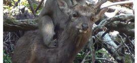 Un pseudo-accouplement entre des macaques et des cerfs