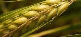 Des avancées importantes sur la détection de la rouille noire (maladie du blé)