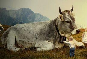 Un essai randomisé à grande échelle montre que le risque de diabète de type I ne baisse pas en évitant les protéines de lait de vache qui ont été divisées. L'étude n'a donc trouvé aucune preuve montrant une augmentation de diabète de type I si les nourrissons consomment du lait de vache.