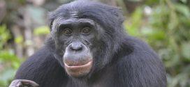Les bonobos n'aiment pas les bons samaritains