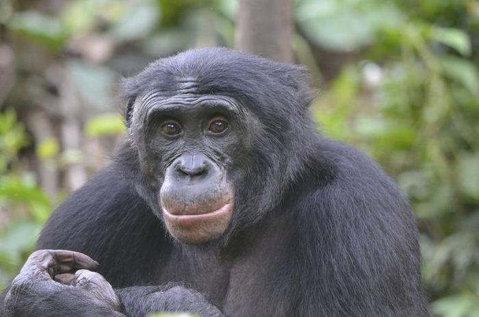 Une étude sur les bonobos montre des résultats étranges. Les bonobos préfèrent les individus qui sont méchants alors que les humains privilégient les bons samaritains. La principale raison est d'avoir des alliés suffisamment puissants de son côté pour les bonobos tandis que pour les humains, la coopération mutuelle est essentielle pour travailler ensemble à grande échelle.