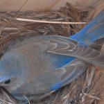 Un merle bleu de l'ouest - Crédit : Nathan Kleist