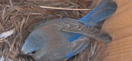 La pollution sonore provoque un stress chronique chez les oiseaux