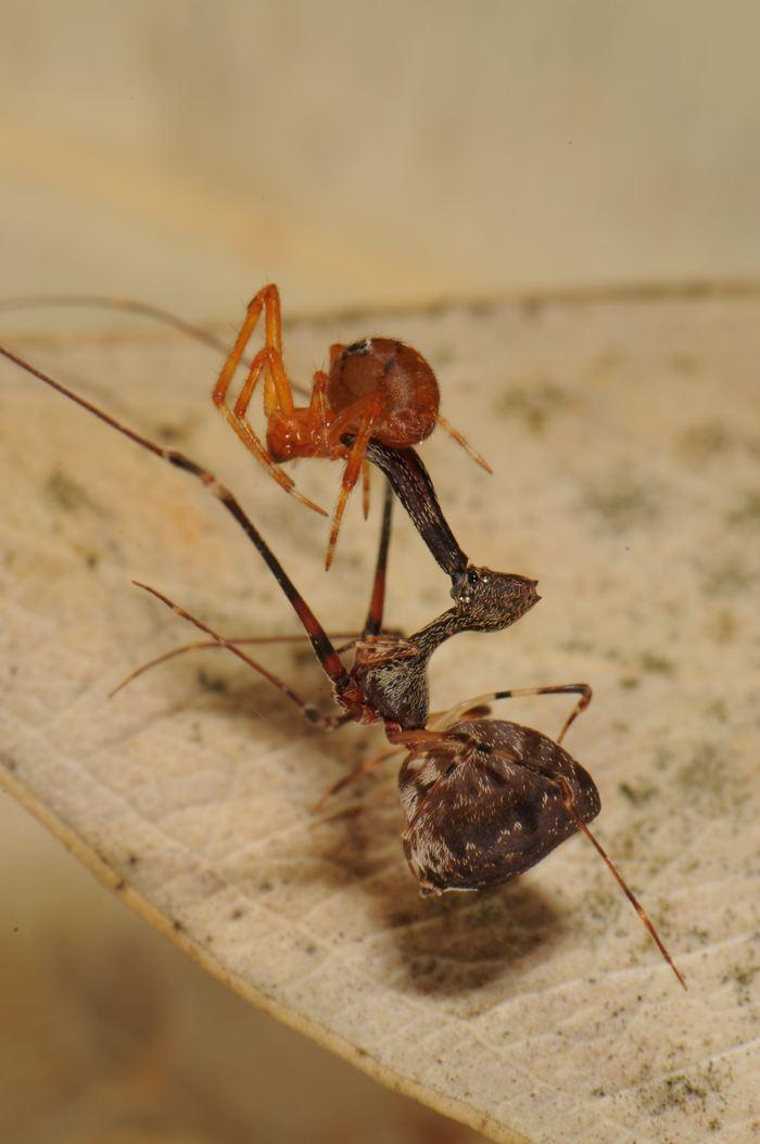 Une araignée Pélican (en haut) qui chasse une autre araignée (en bas) - Crédit : Nikolaj Scharff