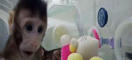 Zhong Zhong et Hua Hua, des clones de singe par la méthode Dolly
