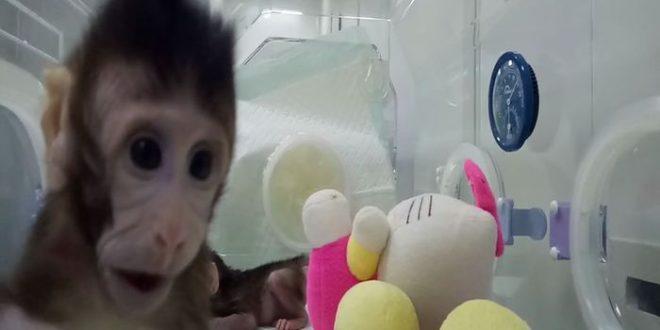 Naissance des deux premiers macaques clonés au monde — Chine