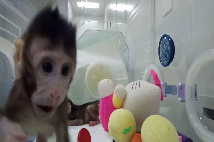 Zhong Zhong et Hua Hua, des singes clonés avec la méthode de Dolly - Crédit : Qiang Sun and Mu-ming Poo / Chinese Academy of Sciences