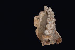 La moitié d'une machoire avec des dents - Crédit : Rolf Quam