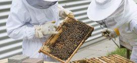 Considérer les abeilles domestiques comme des animaux d'élevage ?