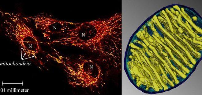 La mitochondrie fonctionne-t-elle à 50 degrés Celsisus ?