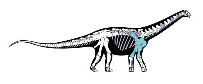 Une reconstruction du squelette de Mansourasaurus shahinae - Crédit : Andrew McAfee, Carnegie Museum of Natural History