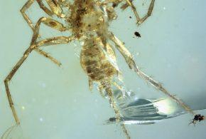 Une vue dorsale de l'araignée Chimerarachne yingi - Crédit : University of Kansas   KU News Service