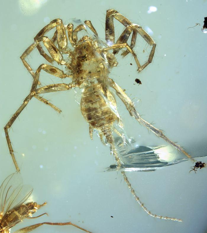 Une vue dorsale de l'araignée Chimerarachne yingi - Crédit : University of Kansas | KU News Service