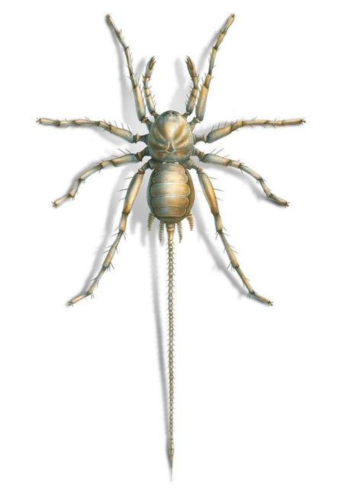 Cette araignée utilisait une queue pour analyser son environnement - Crédit : University of Kansas | KU News Service