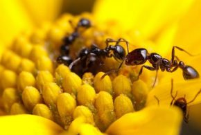La fourmi de feu - Crédit : Clint Penick