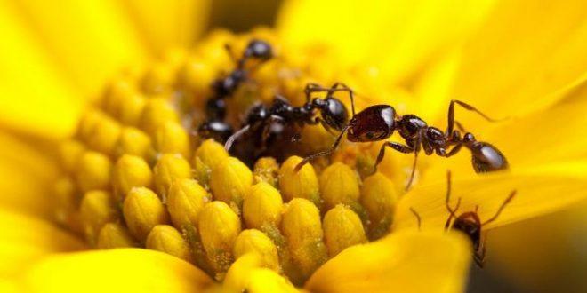 De nouvelles pistes sur les antibiotiques utilisés par les fourmis