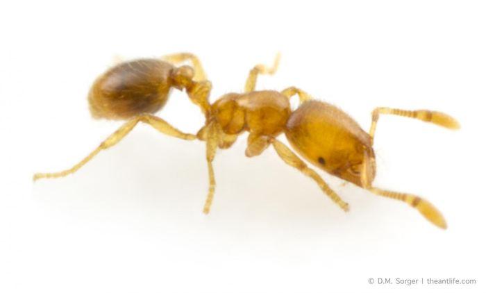 Solenopsis molesta connue comme la fourmi voleuse possédait l'antibiotique le plus puissant dans cette étude - Crédit : Magdalena Sorger