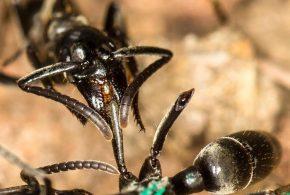 Une fourmi Matabele soigne les blessures d'un congénère dont les jambes ont été mordus pendant un combat avec des soldats termites - Erik T. Frank