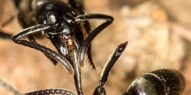 Ces fourmis qui soignent leurs blessés au champ de bataille