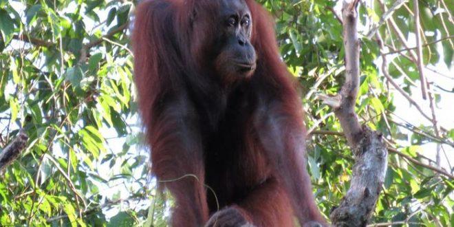 Déclin dramatique des orangs-outans de Bornéo