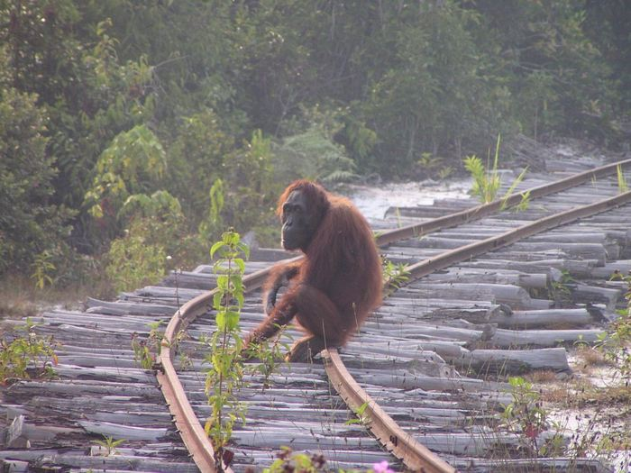 Une étude suggère un déclin rapide des orangs-outans de Bornéo à cause du braconnage ou des conflits. Toutefois, la population reste stable dans certaines régions et il semble que les orangs-outans peuvent s'adapter à de nouveaux environnements.