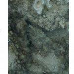 Une seiche camouflée dans son environnement - Crédit : Roger Hanlon