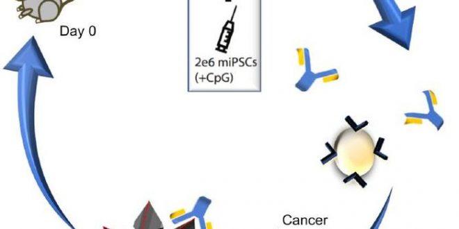 Un vaccin par cellules souches immunise des souris contre plusieurs cancers