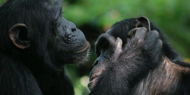 chimpanze bonono geste 1 660x330 gestes de bonobo et des chimpanzés ont la même signification