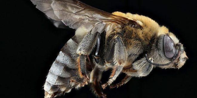 Les Néonicotinoïdes menacent les abeilles domestiques et sauvages selon l'EFSA, mais c'est plus compliqué