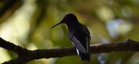 Le Colibri demi-deuil - Crédit : Ana Lucia Mello