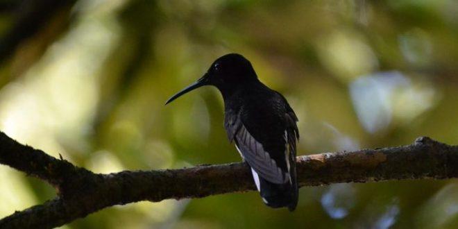 Le Colibri demi-deuil produit un son inaudible par les autres oiseaux