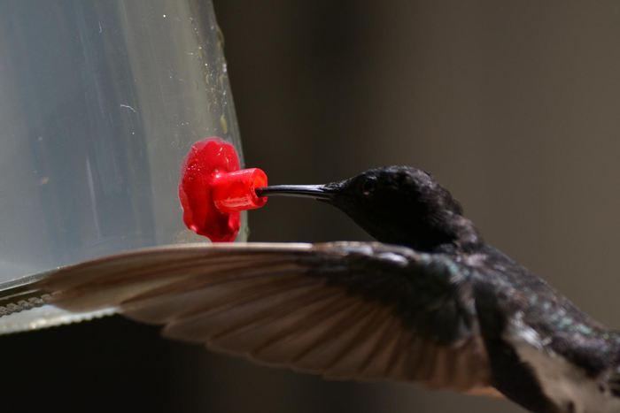 Un colibri demi-deuil dans une mangeoire - Crédit : Ana Lucia Mello