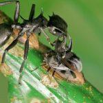 Une fourmi Céphalote sur une plante - Crédit : Jon Sanders