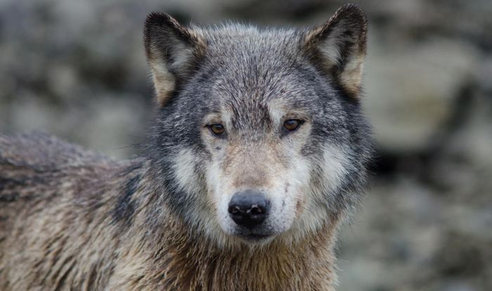 Un loup gris - Crédit : Kyle A. Artelle