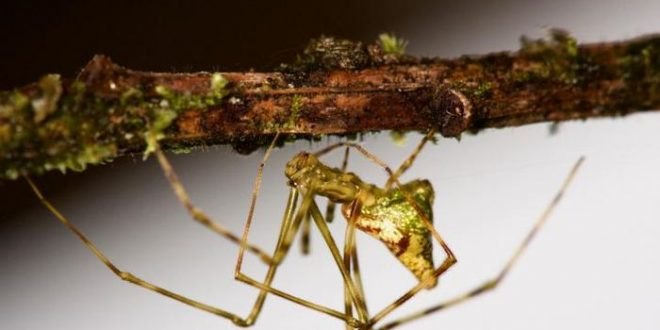 L'évolution remarquable des araignées Ariamnes d'Hawaï