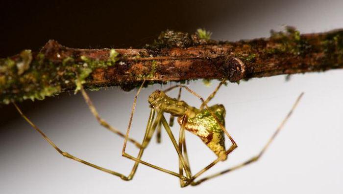 Une araignée Molokai - Crédit : George Roderick