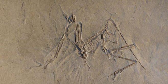 L'Archaeopteryx était un volant actif