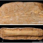 Ce sont quelques-uns des fossiles de ptérosaures marocains de l'étude. En haut : la mandibule (mâchoire inférieure) d'Alcione elainus, un petit ptérosaure. En bas: partie du cubitus (os de l'avant-bras) d'un ptérosaure géant provisoirement identifié comme Arambourgiania. Notez les différentes échelles. La mandibule mesure moins de 20 cm de long tandis que l'ulna mesure plus de 40 cm de long. Arambourgiania aurait eu une envergure plus de 3 fois de celle d'Alcione.
