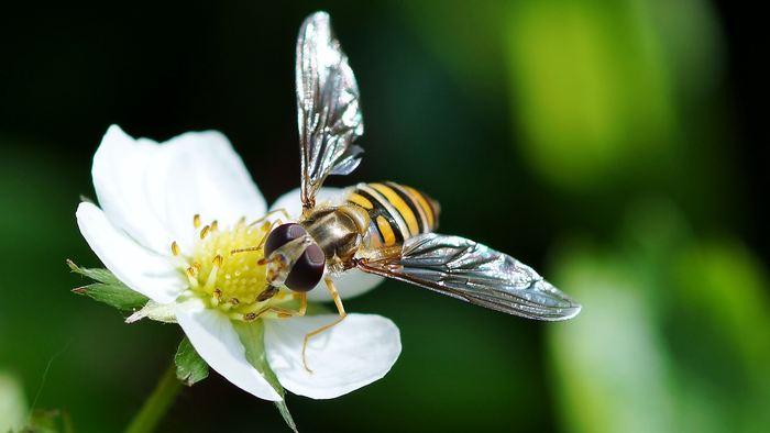 Deux enzymes spécifiques, l'une chez l'abeille mellifère et l'autre chez le bourdon, peuvent détenir les clés d'une nouvelle génération d'insecticides qui protègent les cultures sans menacer ces pollinisateurs essentiels
